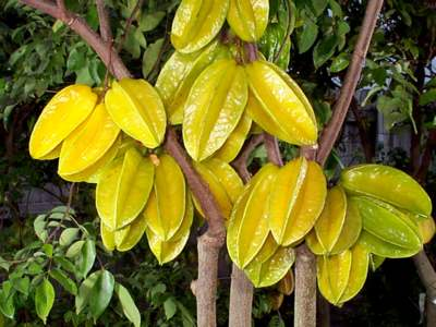 carambola Tropical Fruit Trees That Grow Best in SW Florida