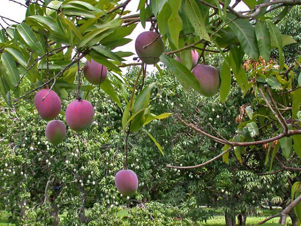Star Fruit Trees Tropical Florida Gardens