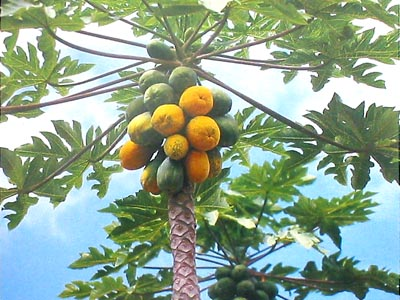 papaya Tropical Fruit Trees That Grow Best in SW Florida